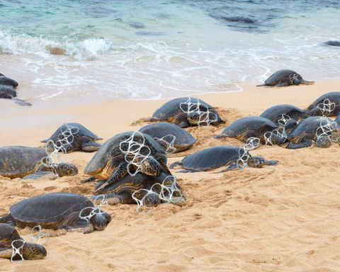 Turtles dying from asphyxiation
